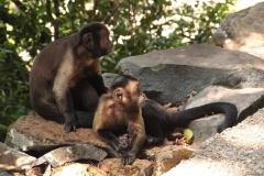 Un couple de capucins bruns des îles du Salut