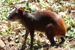 Un agouti, rongeur commun en Guyane